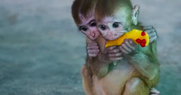 Zwei kleine Affen, die ohne ihre Mütter geblieben sind, haben sich angefreundet und verbringen jede Minute zusammen