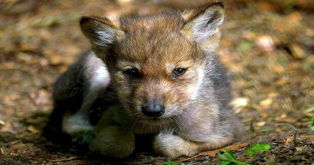 Screenshot: YouTube / Wolf Conservation Center
