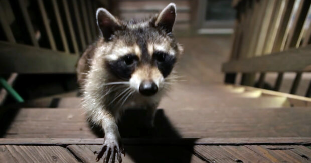 Screenshot: YouTube / Tito The Raccoon