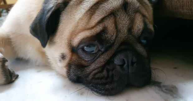 Screenshot: YouTube / SIMBA'S PUG LIFE